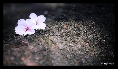world travel summer travelling japan cherry japanese spring ancient nikon view blossom culture buddhism best 日本 sakura nippon tradition shinto japon okazaki nihon japani 2014 japón 일본 honshu shintoism 2015 d610 岡崎 本州