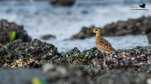 Pacific Golden Plover-0946