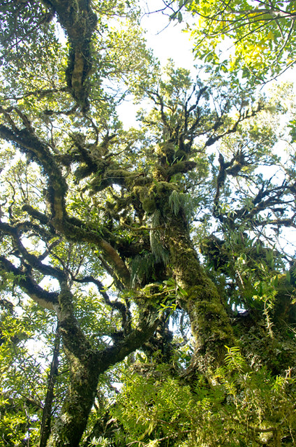 Epiphetised tree at Mt Taranaki on Dawson Falls path 23 1 15 K54873 - 650