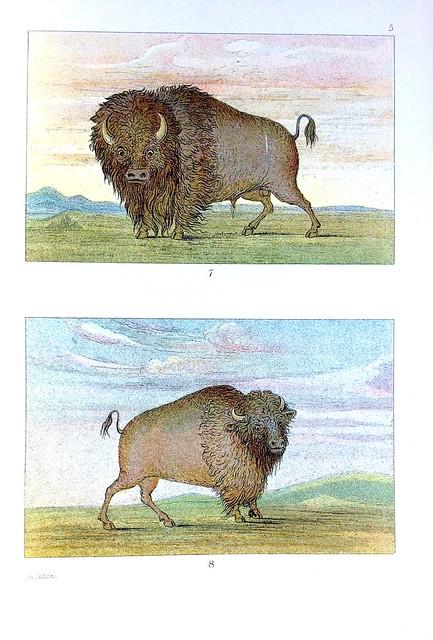 catlin buffalo