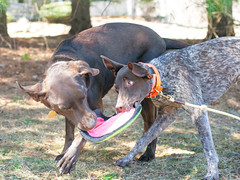 6638 Piper and Hershey playing tug