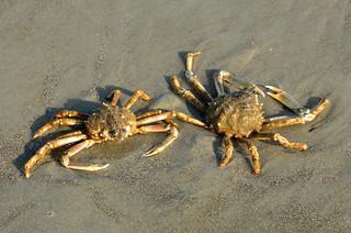 Spider Crabs DSC_0887