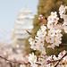 White Heron Castle with Sakura 3/白鷺城と桜 3 by nzom