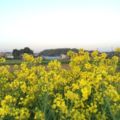 food(0.0), meadow(0.0), canola(1.0), prairie(1.0), agriculture(1.0), vegetable(1.0), flower(1.0), field(1.0), yellow(1.0), mustard plant(1.0), brassica rapa(1.0), plant(1.0), mustard(1.0), wildflower(1.0), produce(1.0), crop(1.0), rapeseed(1.0),