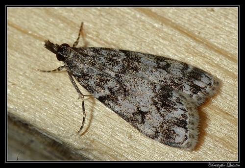 Eudonie des bois (Eudonia lacustrata)