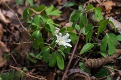 アズマイチゲもまだ咲いていた山の花道