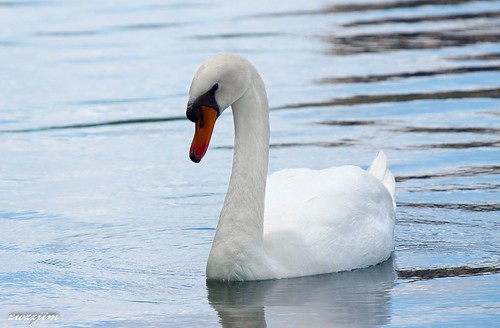Mute Swan 0-7
