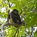 Small photo of Mantled howler monkey (Alouatta palliata)