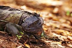 My First Iguana in the Wild ~ Sony A580