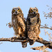 Siblings - Juvenile Great Horned Owls by Frank Shufelt
