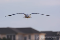 Ring-billed Gull ~ Larus delawarensis ~ Southern Outer Banks, North Carolina