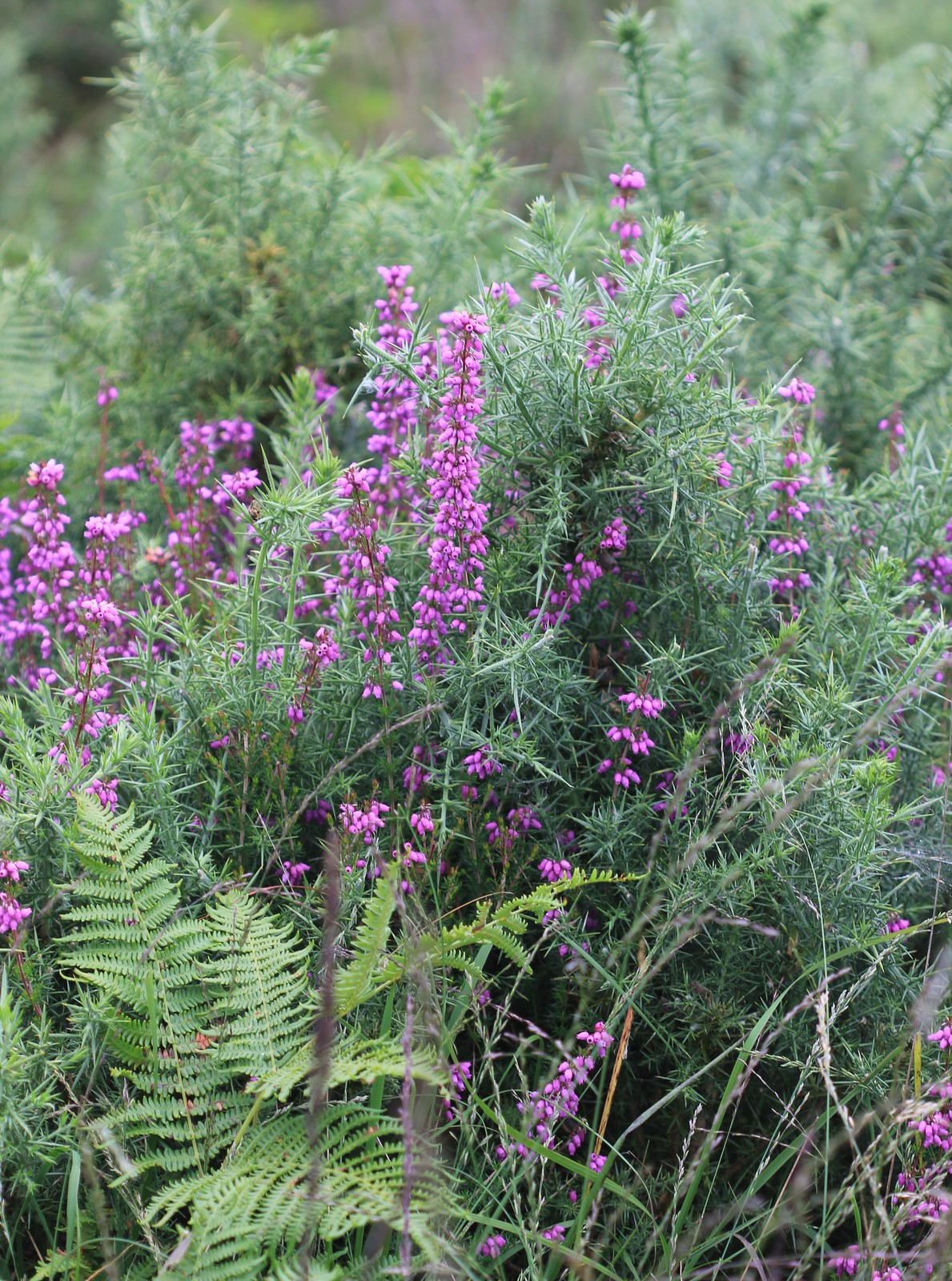 Bell Heather - Ashdown Forest