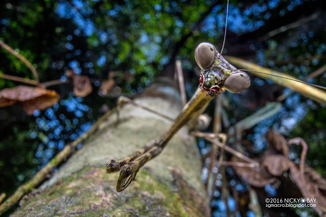 Twig mantis (Euchomenella sp.) - DSC05451