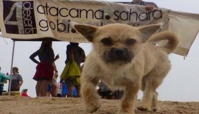 Toulavý pes dokončil 250 km závod