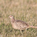 Small photo of Female Ring-necked Pheasant, Phasianus colchicus