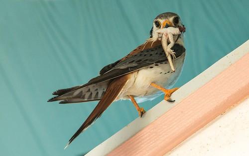 falcon americankestrel birdsofpreyarecool