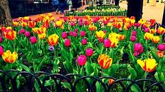 Bright Tulip Bed