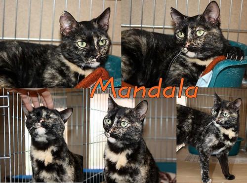 FALLECIDA- Mandala, preciosa gatita carey dulcísima de ojos verdes esterilizada, nacida en Julio´14, en adopción. Valencia. 16940896569_bfef95ea88
