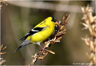 American Goldfinch, Birds of John Heinz Wildlife Reffuge