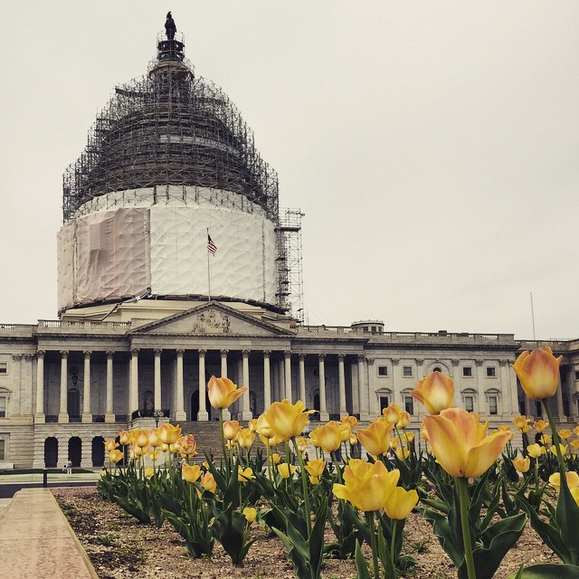 Tulips and the Capitol #latergram #IGDC #spring