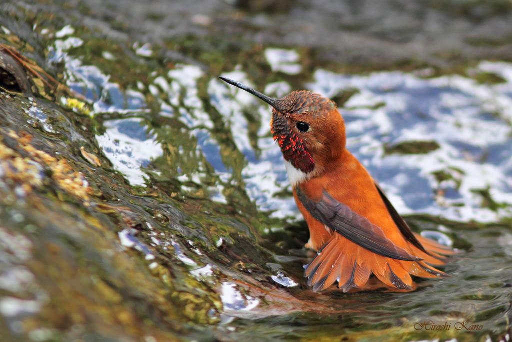 Rufous Hummingbird 0604151