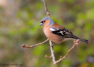 chaffinch and buds