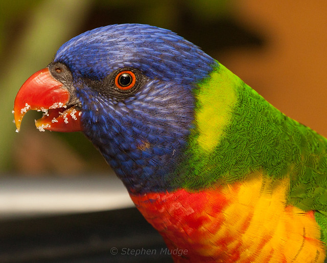 Rainbow Lorikeet with sugary beak