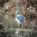 Eastern Great Egret at Tuggerah Lake