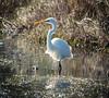 Eastern Great Egret at Tuggerah Lake by Merrillie
