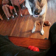 And now its his gross slimed up Kong. He is nothing if not persistent.  #GSD #germanshepherddog #germanshepherd