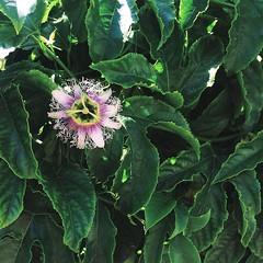 Passion fruit flower :heart_eyes::cherry_blossom: