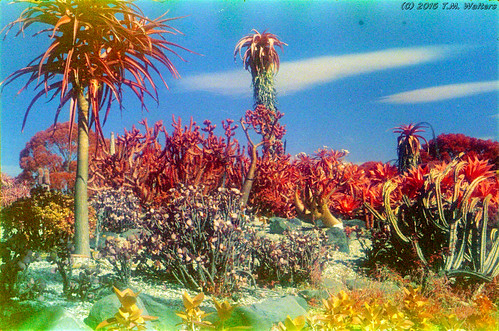 Cactus garden at Wollongong Botanical Gardens (1986 expired Kodak Ektachrome Infrared 2236 35mm film)