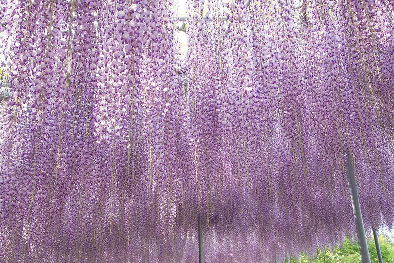 ashikaga_flowerpark-54