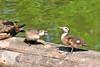 Wood Duck Ducklings 15-0521-2701 by digitalmarbles