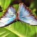 Blue Morpho Butterfly – Morpho peleides