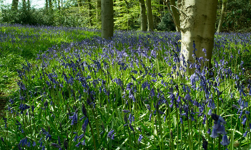 20150426-03_Cawston Bluebell Woods