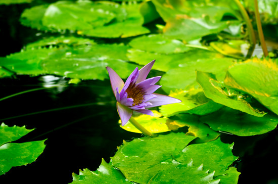 purple waterlily - Domain 5 4 15 K55119 - 550