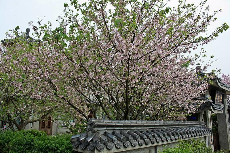17度C在地景點春季推薦-東方室-櫻花 (22)