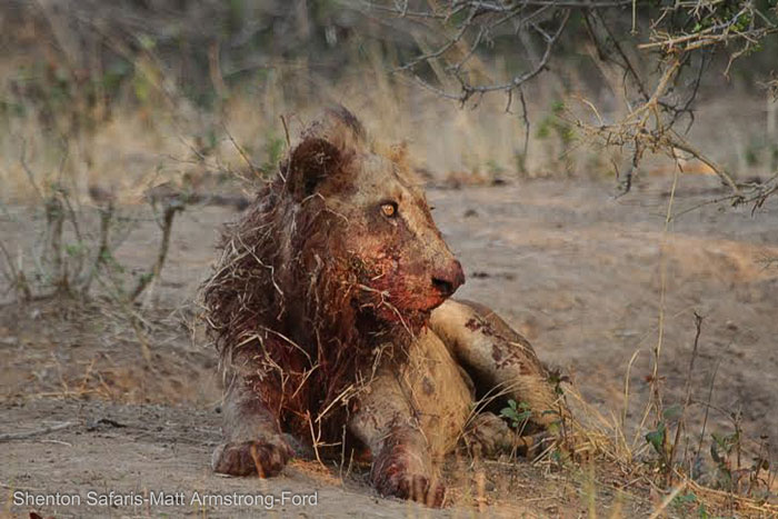 injured-bloodied-lion