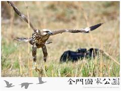 2014金門猛禽計畫(鵟)-01