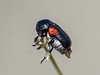Red-shouldered leaf beetle (Saxinis deserticola) by kaeagles