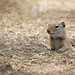 wyoming ground squirrel by johncarney