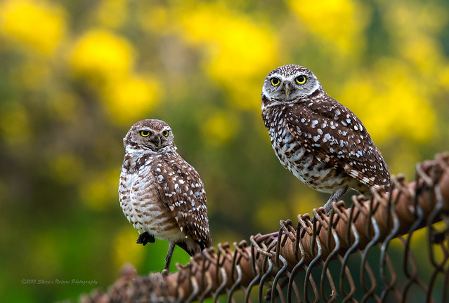 Burrowing Owl Buddies