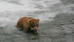Niedźwiedź grizzli ze swoja zdobycza