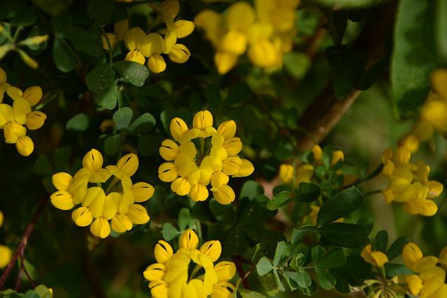 Coronilla glauca (= C. valentina subsp. glauca) - coronille glauque 17026714988_af718aefc5_z