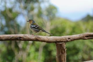 Madeirischer Buchfink, Levada do Furado | Roland Krinner