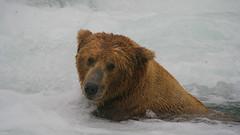 Niedźwiedź grizzli pod wodospadem