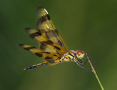 Halloween Pennant Dragonflies, (Celithemis eponina) is a dragonfly found in North America, in the Pennant genus of dragonflies.