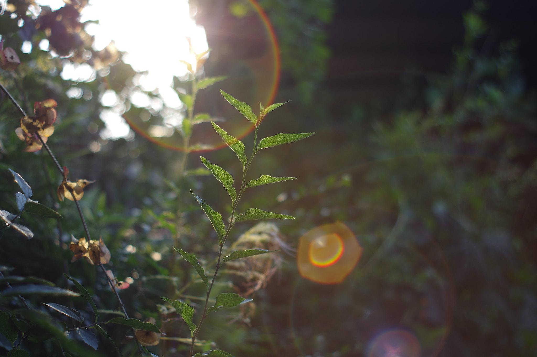 夕陽,逆光,葉脈