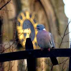 A pigeon clock watcher